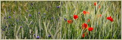 Sommerblumen (pappleany) Tags: flower outdoor natur pflanze blume wildblume pappleany