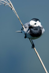 White Wagtail (abritinquint Natural Photography) Tags: bird vogel natural wildlife nature wild nikon d7200 telephoto 300mm pf f4 300mmf4 300f4 nikkor teleconverter tc17eii pfedvr germany wagtail white whitewagtail blue bokeh reed reedbed water