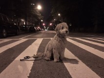Muddy's Bernie loves his live in NYC!