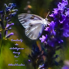 Cabbage Butterfly In The Shadows (Jo-Ah Finally Got On Here!) Tags: butterfly garden fun quote lavender cabbage poetography wk180