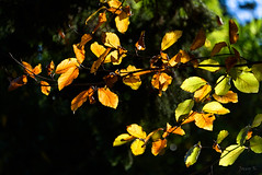 Catching the Light (Jocey K) Tags: autumn newzealand christchurch tree leaves shadows may monavale