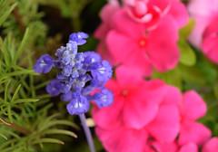 Day 172:  flowers (Mark.Swanson) Tags: cosmos salvia vinca flower garden