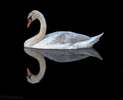 Mute Swan on the river (Doreencpa) Tags: white detail bird blackbackground river swan muteswan aquaticbird