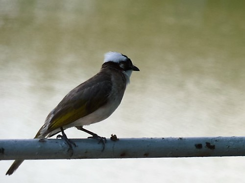 Light-vented Bulbul seen in Taiwan