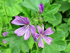 links und rechts vom Weg (mama knipst!) Tags: flower fleur natur eifel blume malve rurtal