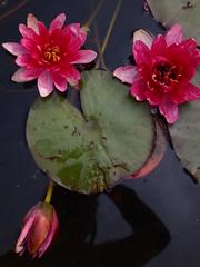 P6303725 (louisecrouch) Tags: reflection nature garden botanical outdoors pond waterlilies lilypads waterplants lilypond summergarden countrygarden pinklilies lilyflowers