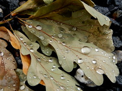 The beauty of Mother Nature (Landanna) Tags: texture nature leaves natur natuur raindrops bladeren textuur regendruppels thebeautyofmothernature