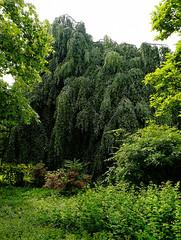 Buche in Hiltrup - 2016 - 0020_Web (berni.radke) Tags: tree giant baum beech mnster buche colossus riese hiltrup