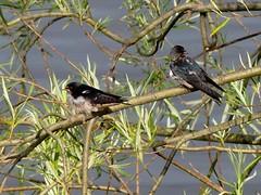 Schwalbenkinder***young swallows (BrigitteE1) Tags: blue tree bird colors leaves birds animals kids germany deutschland flickr sunny bremen vgel hirundorustica vogel juv rauchschwalbe europeanswallow schwalbenkinder youngswallows juvschwalben juvswallows