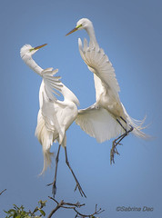 Shall we dance? (Picha Gallery) Tags: greate egrets