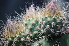Cactus flower 1 (gorrarroja) Tags: espaa flower macro valencia spain flor macrophotography macrofotografa