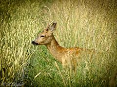 Rehbock im Feld (Fotoamsel) Tags: deutschland tiere natur landschaft goslar niedersachsen rehbock