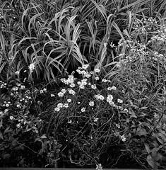 Wild chrysanthemum () Tags: china summer portrait blackandwhite bw flower 120 6x6 film nature analog zeiss mediumformat landscape landscapes blackwhite asia cityscape wuxi traffic metro bokeh snapshot hasselblad negative squareformat positive bnw lanscape blackandwhitephotography streetshot superwideangle wildchrysanthemum swc carlzeiss fomapan100 filmphotography biogon ddx fomapan 903swc carlzeisslenses zeisslenses flickraward biogon4538 biogont4538 wuximetro