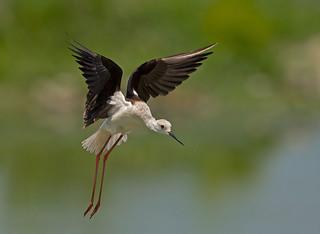 Black-winged Stilt: Himantopus himantopus