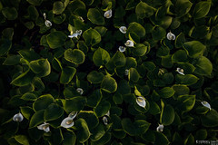 An assortment of greens (Ron Jansen - EyeSeeLight Photography) Tags: asdl buskerud norway spring green greens light evening soft water wet flower flowers white glow wideangle mosquitoes mosquito texture textures plant plants leaf leafs foliage