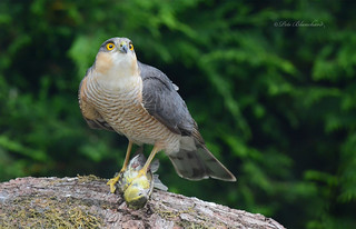 Sparrowhawk (explored)