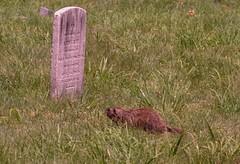 Varmint (caboose_rodeo) Tags: woodchuck groundhog gopher varmint 208 pineislandcemeterynorwalkct