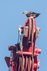 Osprey (steve happ) Tags: newsouthwales osprey pandionhaliaetus kingscliff