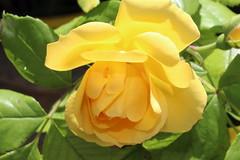energia del colore (maresogno67) Tags: colors yellow giallo petali rosa pink flowers