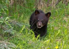Black Bear - Spring Cub 0F3A6068 (Dale Scott.) Tags: albertacanada jaspernationalpark ursusamericanus blackbearcub