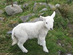 Lamb (Prosthetic_Head) Tags: baby cute animal animals scotland sheep farm lamb oban livestock kerrera babyanimals
