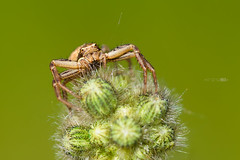Little Fellow (Emyan) Tags: macro green nature canon spider spring crab xysticusulmi