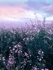 Free stock: Purple flower field (MusesTouch - digiArt & design) Tags: pink flowers sunset plants nature field vertical landscape outside flora purple creativecommons format retouched webimages freestock iphone5 joannaortynska musestouch