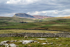 3682 Pen-y-ghent (Steve Swis) Tags: uk england mountain landscape sheep britain yorkshire peak moor dales penyghent penygent brontecountry jstevesw samsungnx5