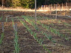 Emerging garlic and multiplier onions (Really Small Farm) Tags: onions garlic bulbs shallots allium cloves alliumsativum multiplieronions