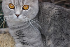 031 (piaktw) Tags: cat garden eyes copper britishshorthair coppereyes got luddkolts gotalnwick