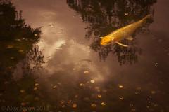 Fish Gold (aj 1982) Tags: park fish holland london outdoors gold spring coins may luck koi wish wishing