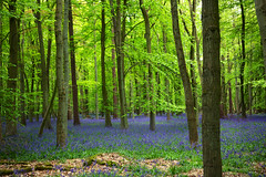 Ashridge Estate (Nada*) Tags: uk flowers blue trees england tree green nature leaves bluebells forest wow season outdoors woods natural hiking walk hike fresh growth vegetation flowering environment wald priroda baum ashridge umwelt inbloom baume ashridgeestate flooming