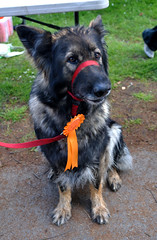 Tina (makingacross) Tags: park home dogs manchester sponsored walk annual alsatian germanshepher debdale manchesterdogshome