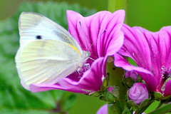() / Small Cabbage White sucking nectar from flowers of Common Mallow (Dakiny) Tags: plant flower animal animals japan butterfly insect yokohama    malva   smallwhite cabbagebutterfly commonmallow  2013 smallcabbagewhite  highmallow  aobaku   2013 bluemallow