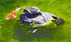 more turtles with koi (Sunnyvaledave) Tags: