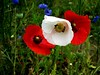 Insieme.... together (anton.it) Tags: natura poppies fiori rosso colori bianco parcodellecave canong10 antonit