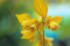 Floral dream (-clicking-) Tags: flowers orchid floral beautiful beauty yellow garden petals flora dof blossom bokeh bloom lovely daydream blooming vietnameseflowers