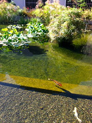 IMG_0479 (ellemorgan) Tags: california fish pond sandiego waterlilies koi balboapark