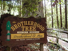 Brotherhood Tree, Trees of Mistery, Redwoods (Dlp-o-Rama) Tags: california trees usa redwood redwoods westcoast treesofmistery