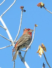 House Finch (Wild Bird Center of Boulder, CO) Tags: housefinch birdwalk jaunita haemorhousmexicanus wildbirdcenterboulder wildbirdboulder wildbirdcolorado housefinchboulder housefinchcolorado housefinchbouldercounty