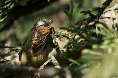 Un avant gout d't (Le No) Tags: 31 insecte hautegaronne midipyrnes homoptera cicadidae stlon lauragais lyristeplebejus collectionnerlevivantautrement homoptre cigalecommune