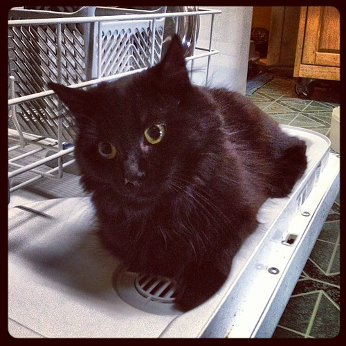Pirate, our new kitten, is in love with the dishwasher.