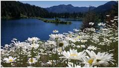 Gold Creek Pond (Go4Hike) Tags: nature daisies hyak naturetrail snoqualmiepass goldcreekpond