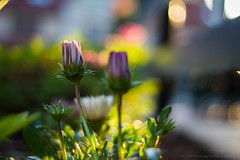 Colors on Friday (icemanphotos) Tags: flowers blue sunset sunlight flower green colors yellow fence garden bokeh naturallight 50mm18 hff fencefriday icemanphotos