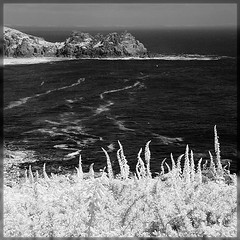 IR Foxgloves (barrycross) Tags: summer monochrome parish mono cornwall infrared southcoast porthcurno porthgwarra westpenwith minack porthchapel 2013 stleven wwwbarrycrossphotographycom