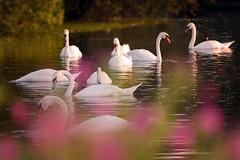 Swan Lake (davidbailey50) Tags: flowers summer lake nature water beautiful boats swan wildlife davidbailey abigfave