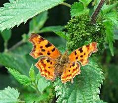 #comma # butterfly #bigbutterflycount (smk1951) Tags: comma bigbutterflycount uploaded:by=flickrmobile flickriosapp:filter=nofilter