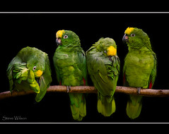 brazil mountain green bird yellow wales america zoo bay amazon nikon rainforest south north central parrot basin jungle welsh panama avian crowned colwynbay welshmountainzoo fronted colwyn yellowcrownedamazon d7000 nikond7000