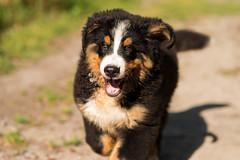 Rennen macht Spass (Alexander J.) Tags: dog chien tiere nikon puppet places hund bernesemountaindog johann d800 bernersennenhund welpe fellbach 2013 buvierbernoise sigma85mm14dghsm