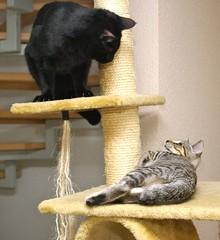 IMGP8447 (frankbehrens) Tags: cats tom cat chats kitten chat gatos gato katze katzen kater